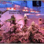 LED del siglo XXI para cultivos de interior de marihuana – Análisis