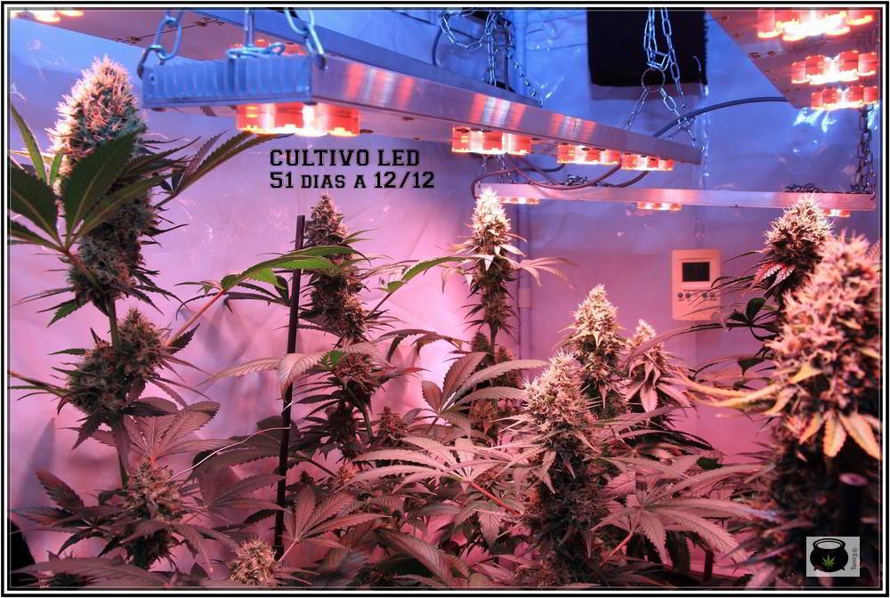 LEDS en cultivo de marihuana indoor de armario pequeño