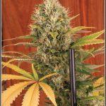 21- 30-7-2013 Variedad de marihuana SuperSkunk selección 92