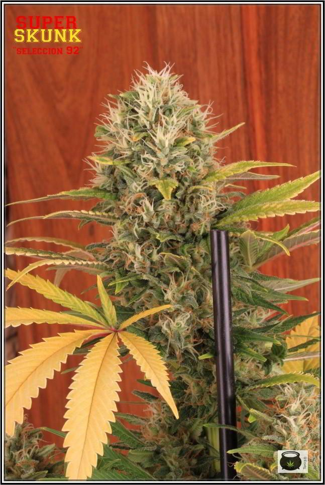 Variedad de marihuana SuperSkunk selección 92 1