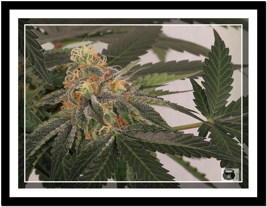 planta de marihuana en cultivo led