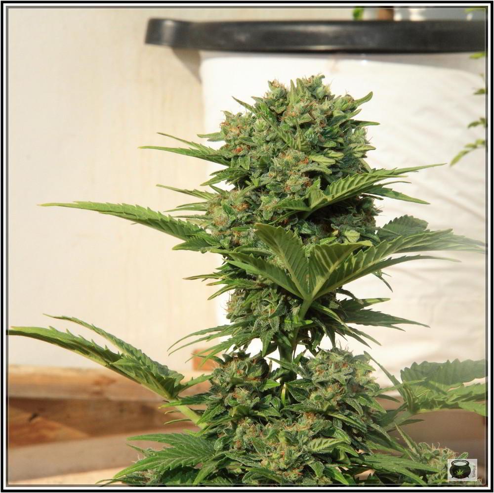 9 7 2013 A Orando El Cultivo De Marihuana En Exterior Como Cultivar Marihuana Y Cannabis Cultura