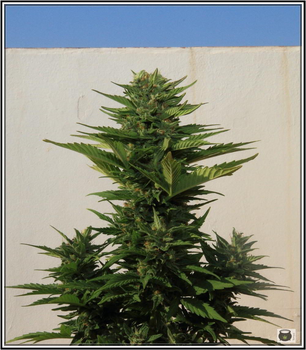 8- 9-7-2013 Añorando el cultivo de marihuana en exterior 4