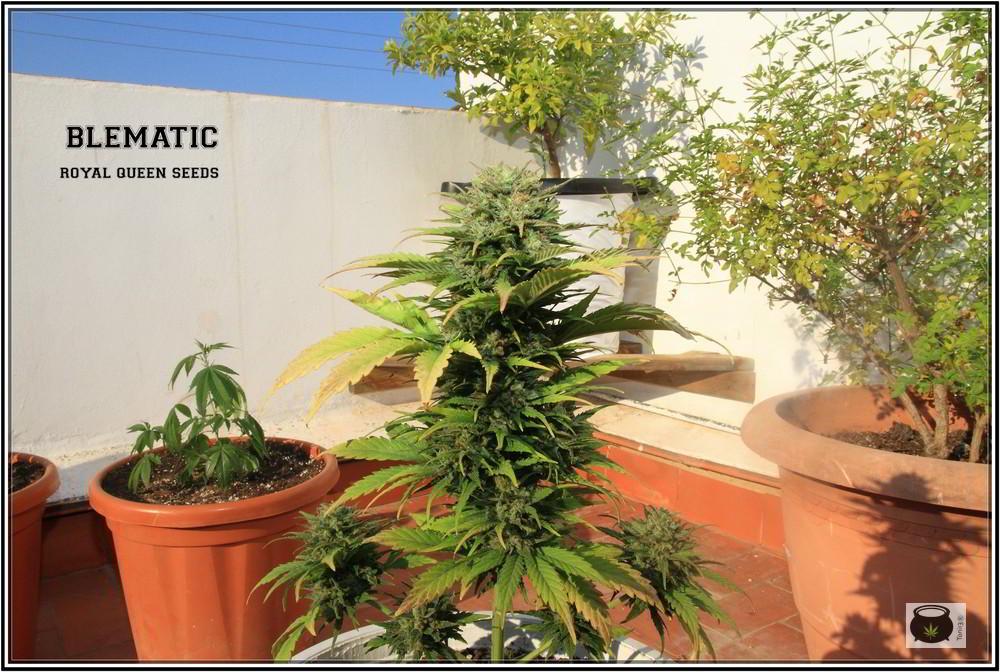 8- 9-7-2013 Añorando el cultivo de marihuana en exterior 5