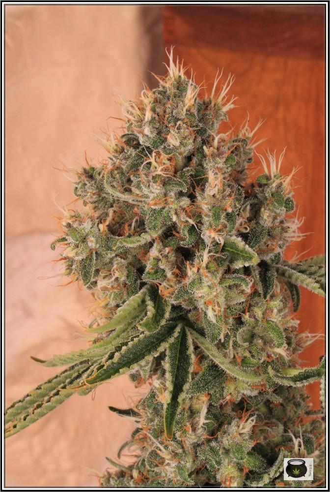 12- 17-7-2013 La variedad de marihuana más roja, EXPLOSIÓN de colores 8