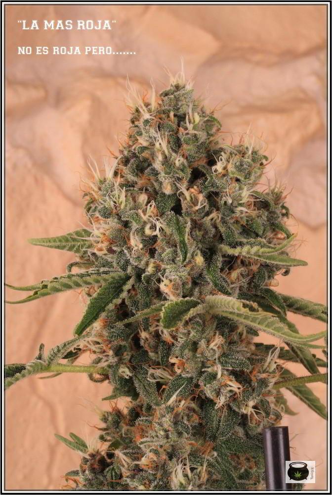 12- 17-7-2013 La variedad de marihuana más roja, EXPLOSIÓN de colores 7