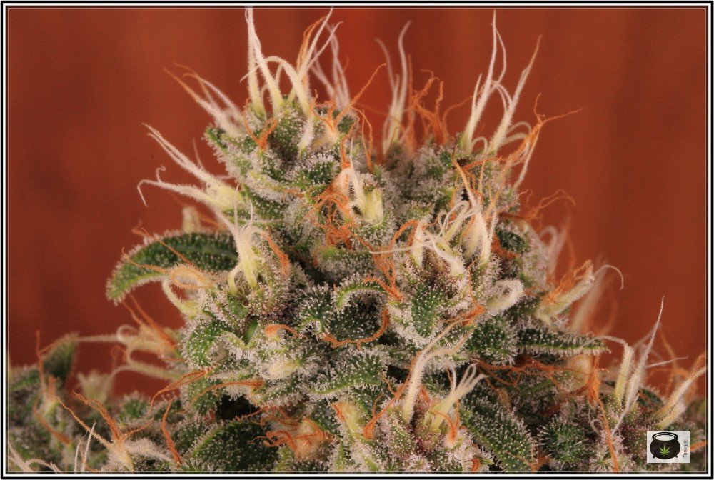 12- 17-7-2013 La variedad de marihuana más roja, EXPLOSIÓN de colores 9