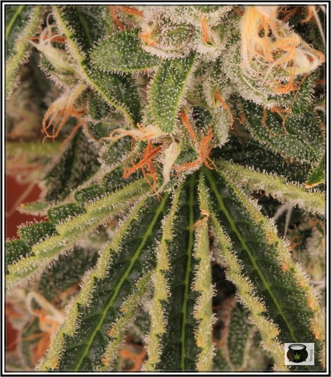 12- 17-7-2013 La variedad de marihuana más roja, EXPLOSIÓN de colores 12