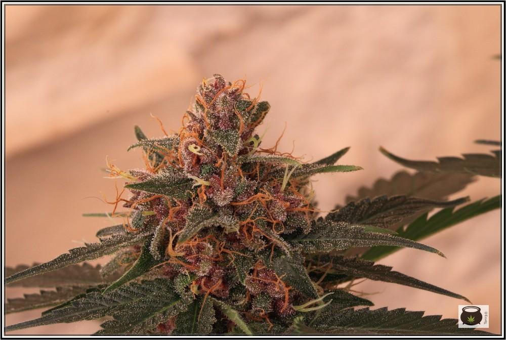 12- 17-7-2013 La variedad de marihuana más roja, EXPLOSIÓN de colores 3