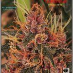 12- 17-7-2013 La variedad de marihuana más roja, EXPLOSIÓN de colores