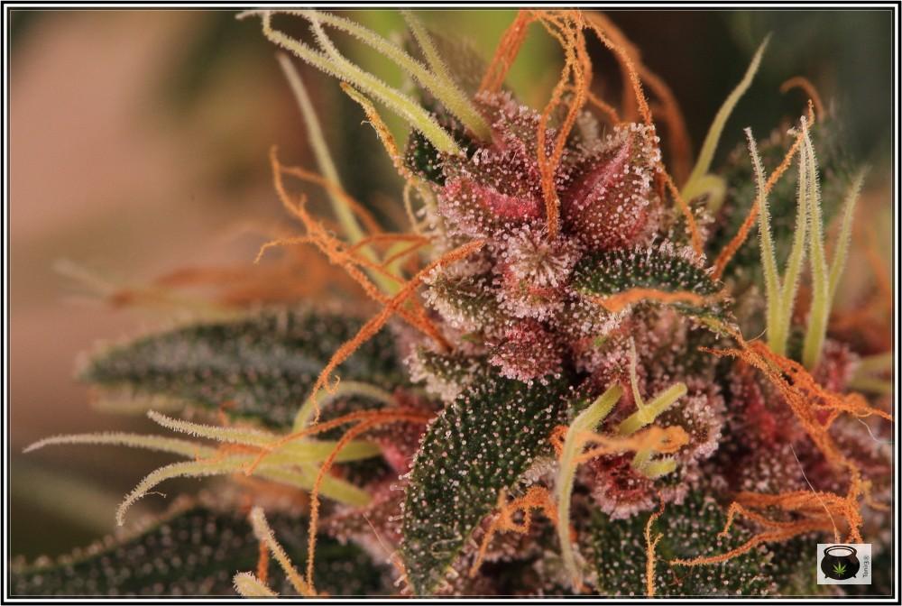 12- 17-7-2013 La variedad de marihuana más roja, EXPLOSIÓN de colores 4