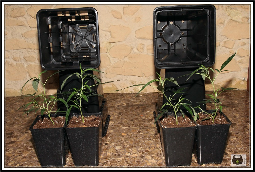Contenedor de cultivo de marihuana: potenciadores radiculares para plantas de marihuana