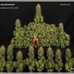 Cómo y cúando cosechar, hacer la manicura y curar la marihuana de nuestro cultivo