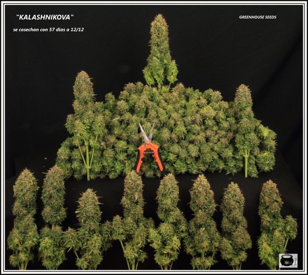 Cuándo y cómo cosechar marihuana interior. Cómo hacer la manicura y curar la marihuana de nuestro cultivo
