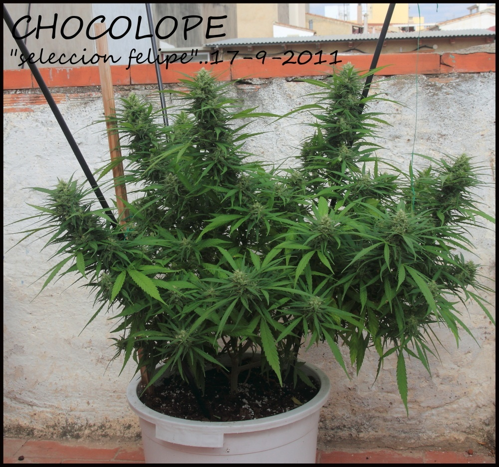 planta de marihuana en exterior terraza