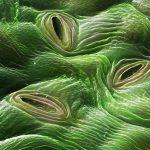Estomas de las hojas de una planta de marihuana – Definición, importancia