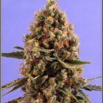 17- 22-7-2013  Ahora un buen secado de la marihuana