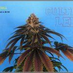 18- 23-7-2013  Corto armario led  de la variedad de marihuana MR Bubba
