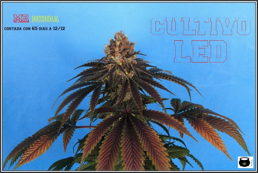 Variedad de marihuana MR Bubba 1