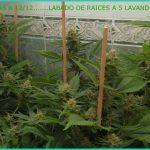 Cómo y cuándo hacer el lavado de raíces a nuestro cultivo de marihuana