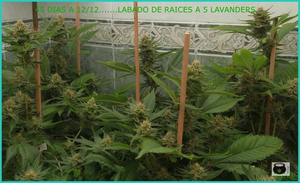 lavado de raíces en cultivo de marihuana - Empieza la precosecha