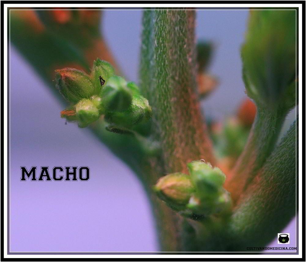 Planta de marihuana macho: diferenciar una planta de marihuana macho de una planta hembra