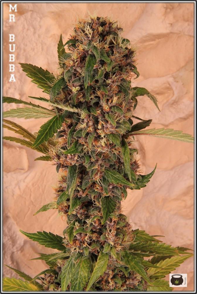 19- 27-7-2013  Dos armarios de cultivo de marihuana al mismo tiempo 5