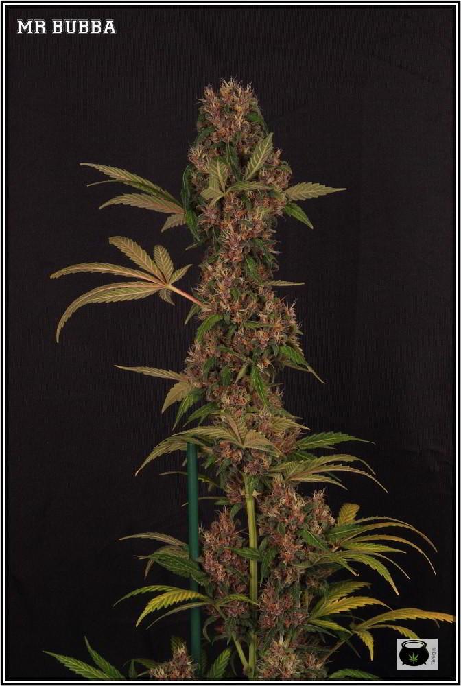 19- 27-7-2013  Dos armarios de cultivo de marihuana al mismo tiempo 6