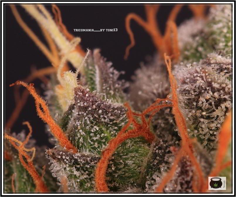 19- 27-7-2013  Dos armarios de cultivo de marihuana al mismo tiempo 8