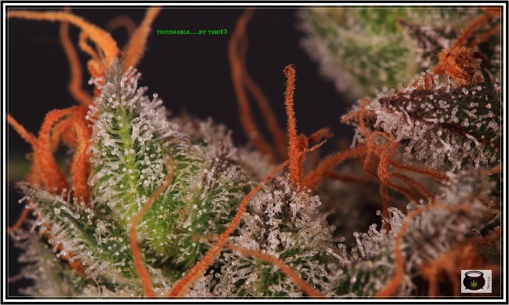 19- 27-7-2013  Dos armarios de cultivo de marihuana al mismo tiempo 7