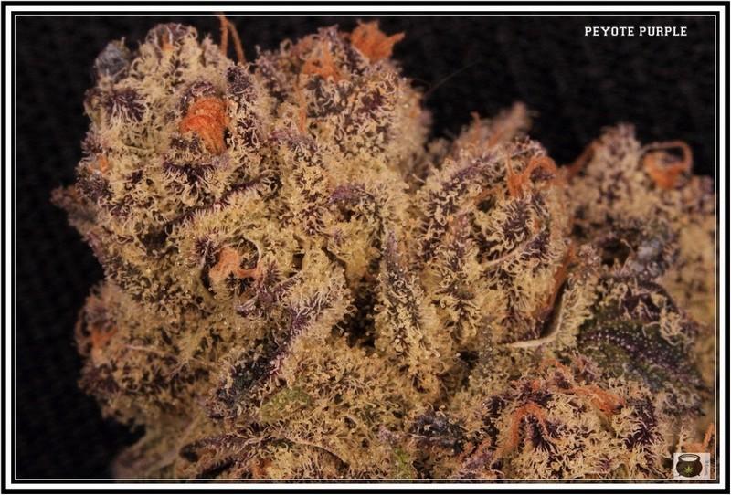 Variedad de marihuana Peyote purple 3