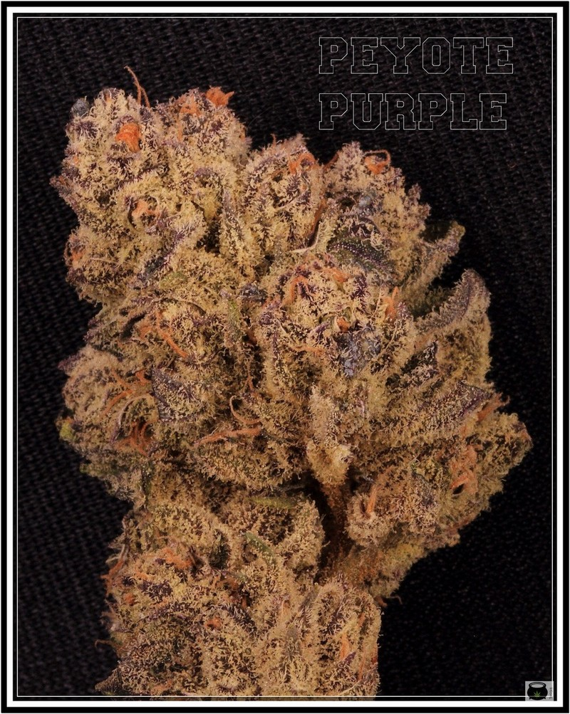 PEYOTE-PURPLE002