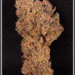 4- 1-7-2013 Variedad de marihuana Peyote purple