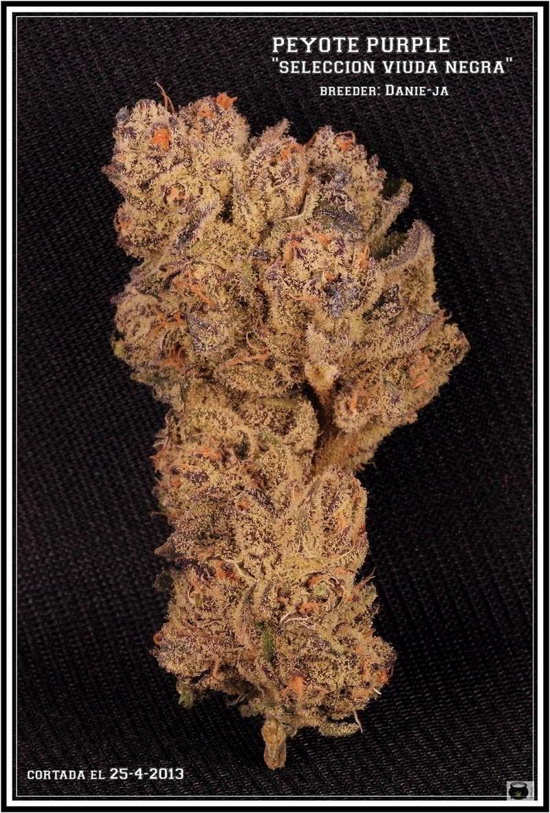 Variedad de marihuana Peyote purple 1