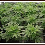 Cómo regar plantas de marihuana – Técnica de regado, horarios, PH y EC