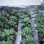 Cómo prevenir plagas y hongos en cultivos de marihuana – Consejos prácticos