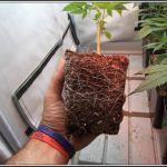 Raíces de plantas de marihuana – El sistema radicular y su importancia