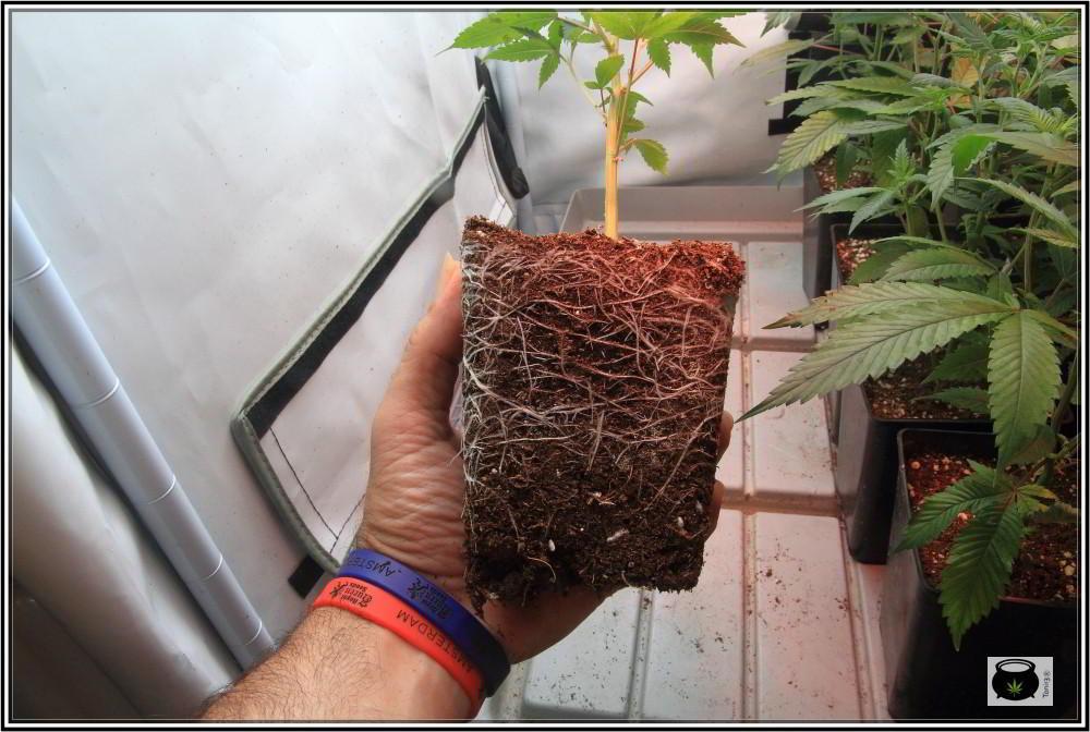 raíces sanas de un esqueje de marihuana
