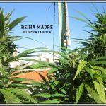 8- 9-7-2013 Añorando el cultivo de marihuana en exterior