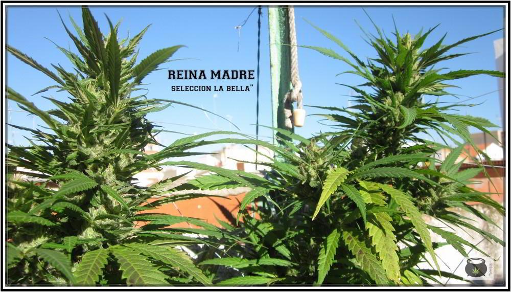 8- 9-7-2013 Añorando el cultivo de marihuana en exterior 1