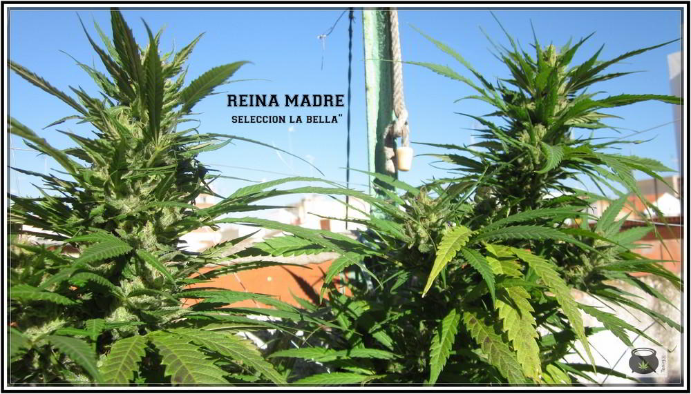 errores en el cultivo de marihuana exterior.