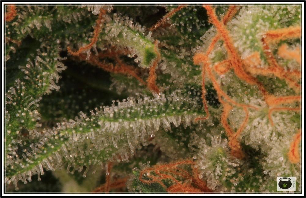 Variedad de marihuana SuperSkunk selección 92 8