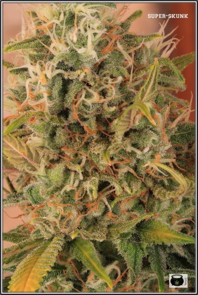 Variedad de marihuana SuperSkunk selección 92 3