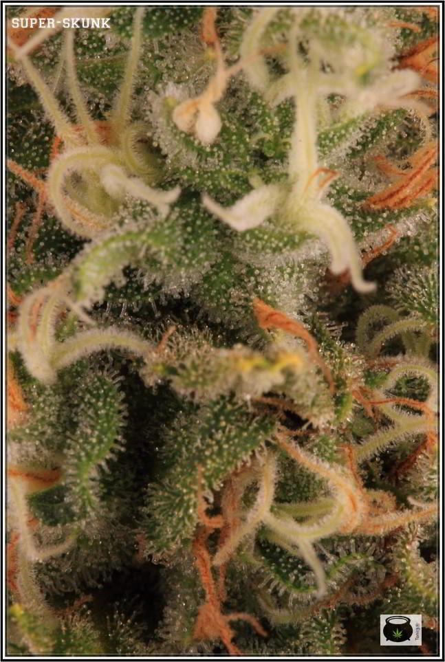 Variedad de marihuana SuperSkunk selección 92 4