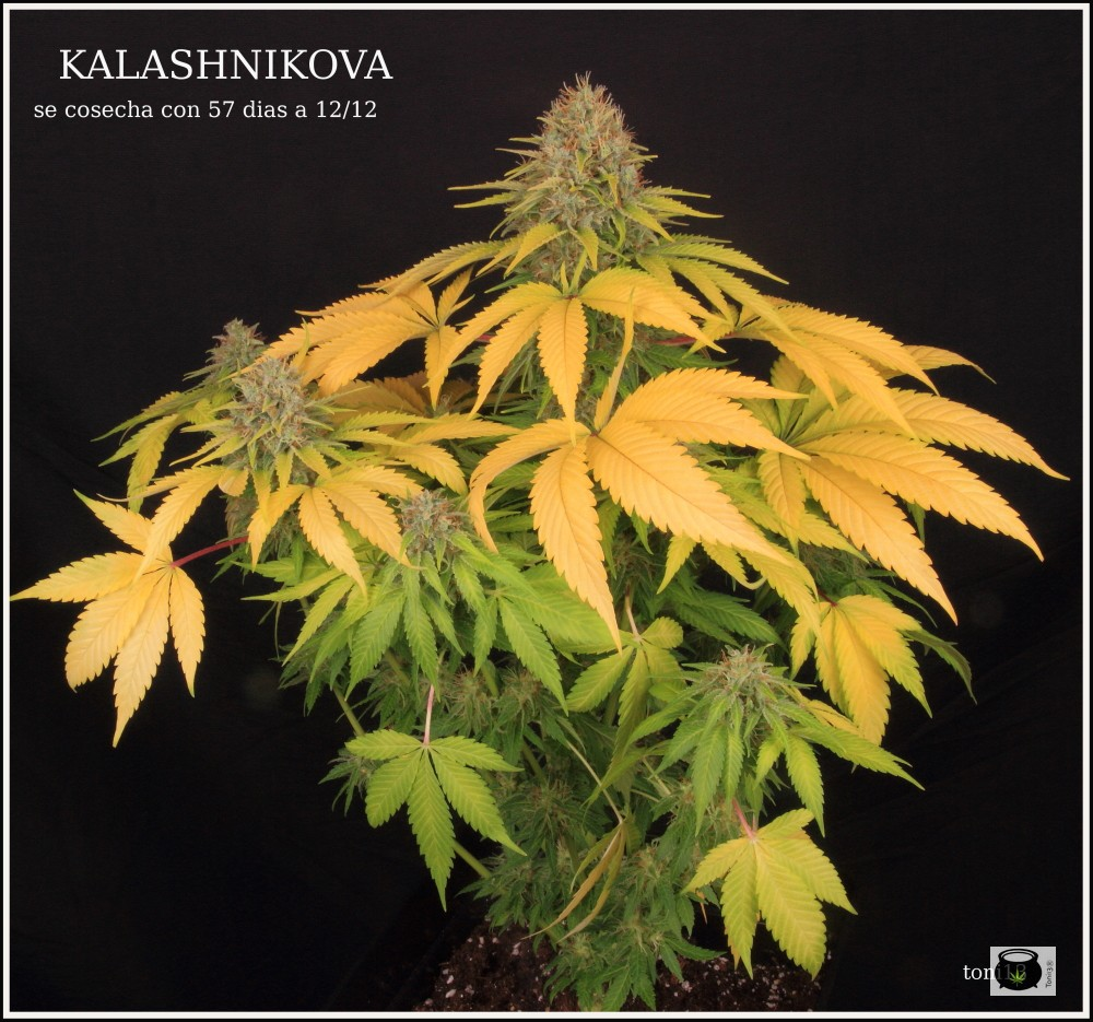 clorosis en hojas de marihuana después del lavado de raíces 2