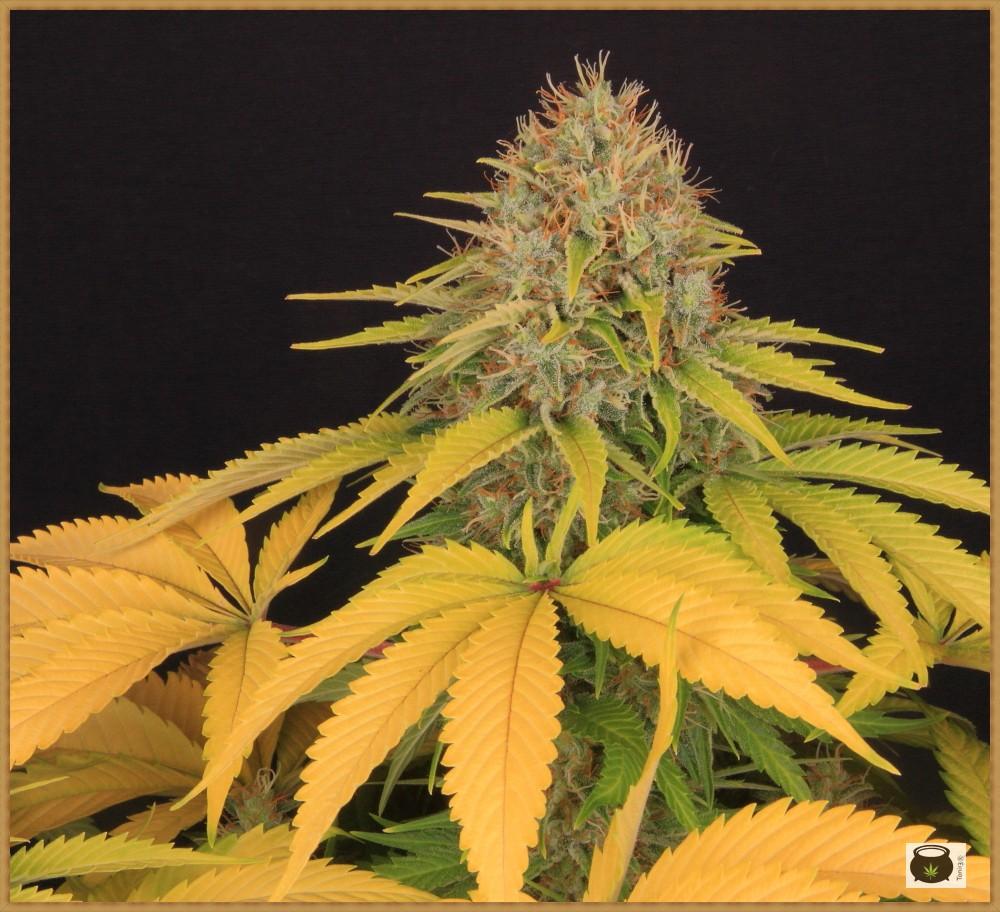 clorosis en hojas de marihuana después del lavado de raíces 3