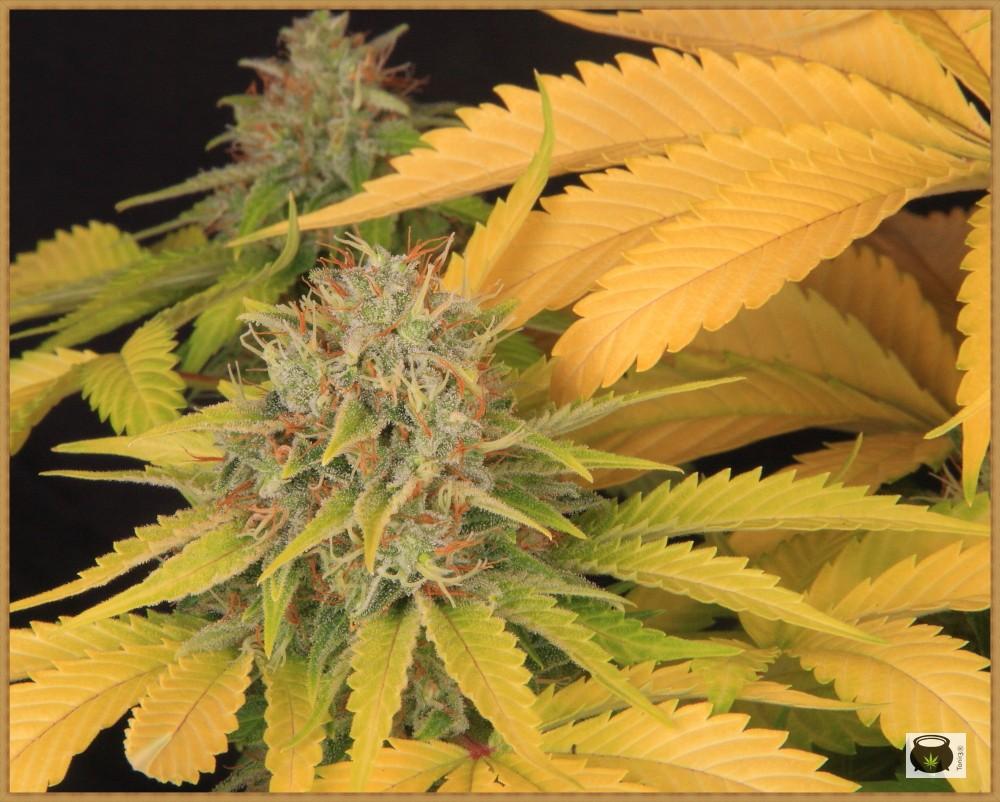 clorosis en hojas de marihuana después del lavado de raíces 5