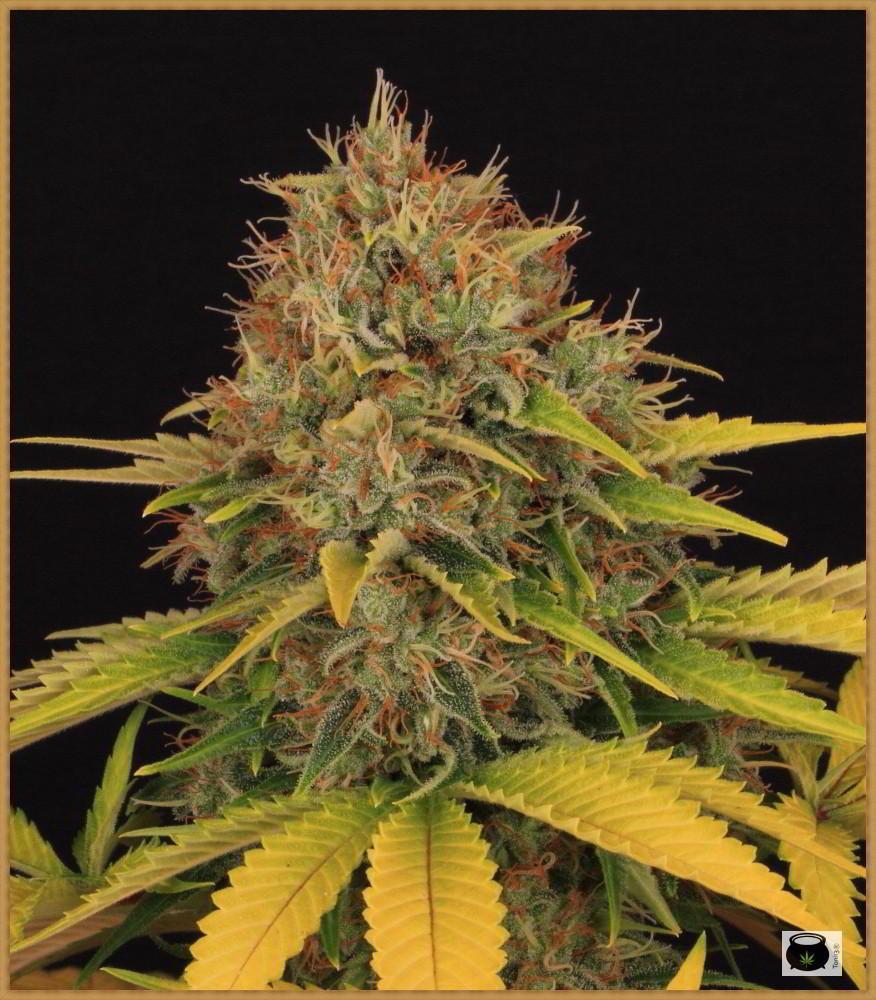 clorosis en hojas de marihuana después del lavado de raíces 4