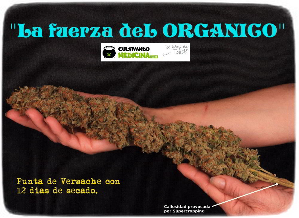punta de planta de marihuana secada