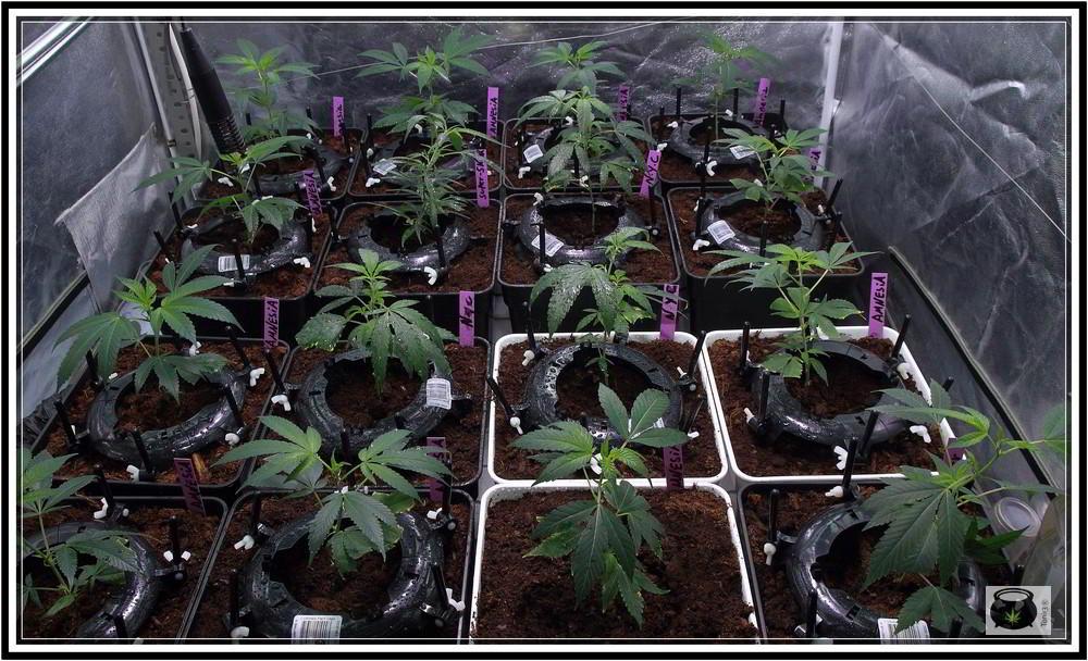 Ultimate plant cage para plantas de marihuana